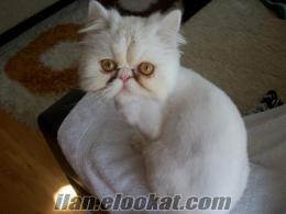 safkan dişi iran kedime eş arıyorum çok acil!!
