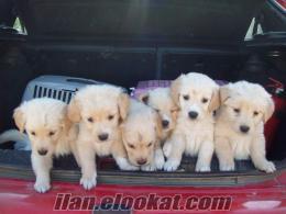 satılık golden yavruları***