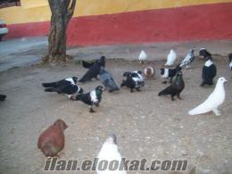 Salihlide satılık güvercin