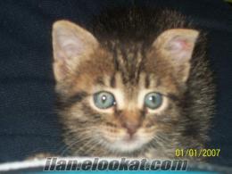 izmir sahibinden kedi yavrusu ücretsiz