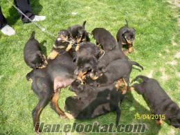 istanbulda sahibinden satılık macar rotweiler yavru köpekler