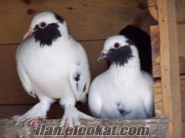 Kara Kuyruk Kelebek Güvercinler(sakallı)