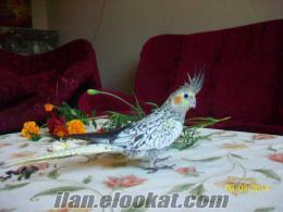 Satılık Sultan Papağanı Yavrularımız