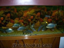 ankarada satılık piranha balıkları