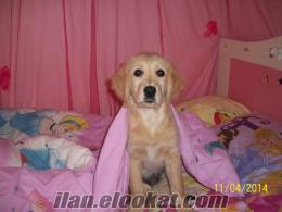 5 aylık safkan golden retriver köpek