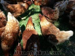 lohman brown organik saf dogal köy yumurtası