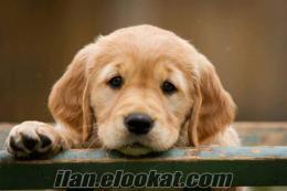 ücretsiz yavru golden reitwer sahiplenmek istiyorum