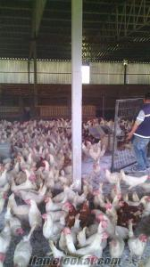 satılık ligorin tavuk
