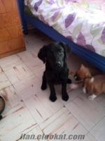 ankaradan siyah labrador yavrusu