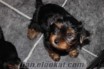 İkinci Yorkshire terrier yavruları