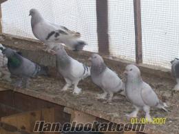 güvercin saglam damar kuşlar