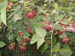 İri Taneli Böğürtlen Fidanı ve Meyvesi