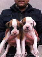 boxer yavrularımız beyaz ve maskeli