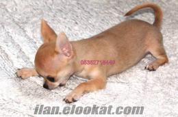 fincan köpek Chihuahua YAVRULARIMIZ mikro çipli