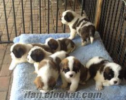 saint bernard yavruları satılık
