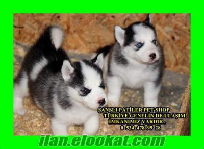 Bursa Çekirge husky yavruları