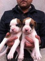 boxer yavrularımız maskeli ve beyaz