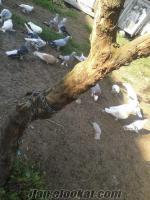 sakaryadan acil satılık güvercin