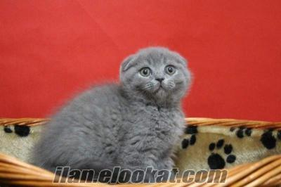 SATILIK SCOTTISH FOLD DARK BLUE KEDİ YAVRULARIMIZ