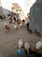 Satılık Tavuk, Tokat Tavuğu Hindi, Ördek, Yaban Ördeği, Spenç Tavuğu
