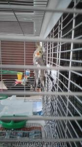 sultan papağan yavru