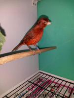 Üsküdarda kanarya kuşları