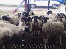 44 adet Kuzulu ve Gebe Sakız Koyun ve Sakız Koçlarım Acil Satılıktır :
