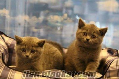 satılık brıtısh shorthair blue colour yavrularımız