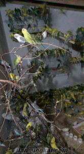 muhabbet kuşu 12.5 toptan