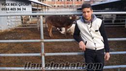 yüce besi çifliğinden satılık holstein buzalı süt inekler