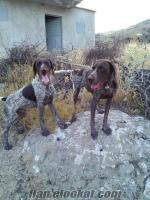 Afyonda satılık iki adet erkek Kurzhaar av köpeği