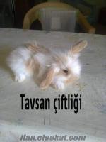 hollanda lop tavşan yavrusu
