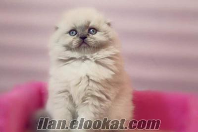 SATILIK SÜPER KALİTE SCOTTISH FOLD LONGHAİR BLUE POİNT KEDİ YAVRULARI