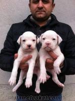 boxer yavrularımız beyaz maskeli