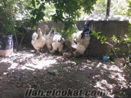 dev brahma tavuk yumurtası vardır