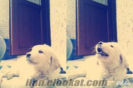 Gaziosmanpaşada golden köpek
