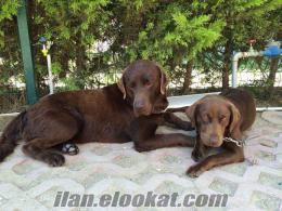 Chocolate Labrador yavrulari