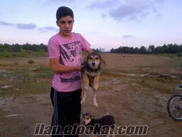 Yavru Dağ Köpeği 2 Köpek sadece 999 TL Bu Fırsat Kaçmaz!!!