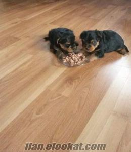 Tüy dökmeyen bakımı kolay %100 safkan yorkshire terier yavrular