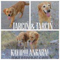 Ankara Kayip!!! Golden retriever dişi ve erkek...