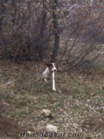 eskişehirde sahibinden satılık 8 aylık kupay av köpeği