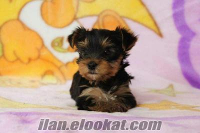 satılık yorkshire terrier yavrusu