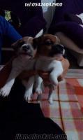 bandırmada safkan jackrussel terrier yavruları