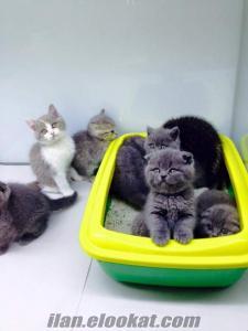 Ankara pet shop tan British Shorthair yavruları sadece 950.00