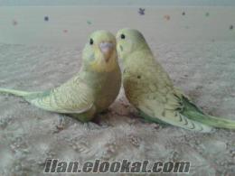yeni yeme düşmüş yavru çekoslavak muhabbet kuşu