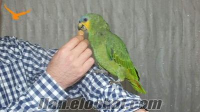 Yavru Amazon Papağanı