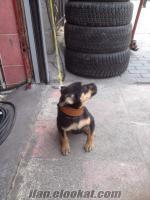 satılık yavru köpek