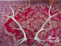 Marmara Ereğlide geyik boynuzu