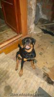 Satılık Rottweiler 6 Aylık Dişi