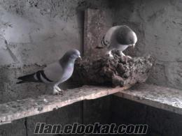 sivas oyun kuşları